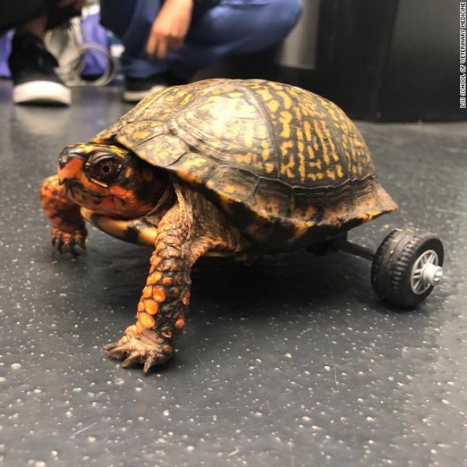 People did this special job for handicapped turtles