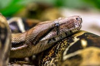 This species of female snake can give birth without mating with male snakes