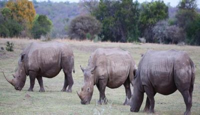 Rhinos Are Vegetarian Animals, Know Other Interesting Facts