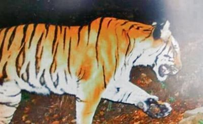 Tiger gets spotted the first time in the hills of Kedarnath,