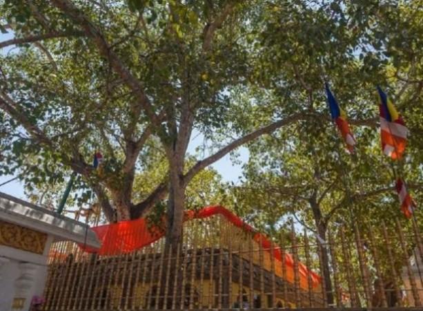 ऐसा पेड़ जिसपर एक साल में खर्च होते है 15 लाख रुपये
