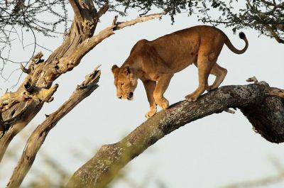 रिहायशी इलाके में पेड़ पर आराम से बैठा था ये शेर