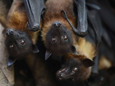 In this village of India, bats are worshiped