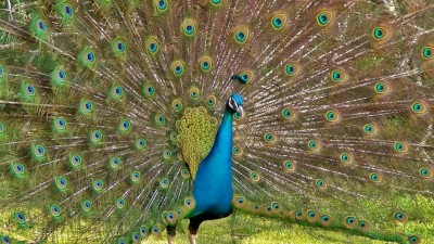 Peacock seen flying in the air, watch slow-motion video here