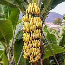 This banana tree will fill the stomach of the entire village, video goes viral