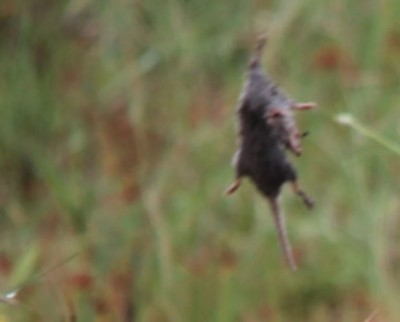 Here 'Rat rain' happening from the sky , people shocked while watching this video