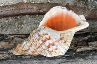 Why the conch is not blown in Badrinath temple?
