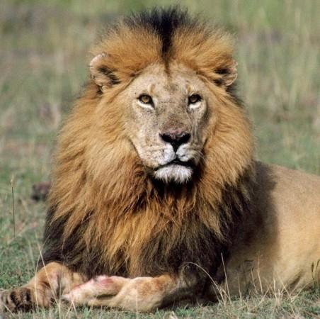 चार बब्बर शेरों के बीच महिला ने दिया बच्चे को जन्म, ऐसा था पूरा मांजरा