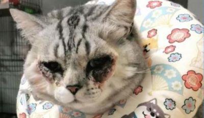 महिला ने अपनी बिल्ली की करवा दी प्लास्टिक सर्जरी, और हुआ ये हाल