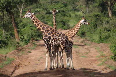 Have you ever seen Giraffes fight? watch the video here