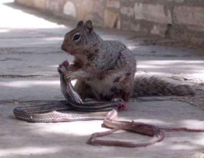 अपने शिकार पर निकला था सांप, लेकिन गिलहरी ने ही कर दिया ये हाल