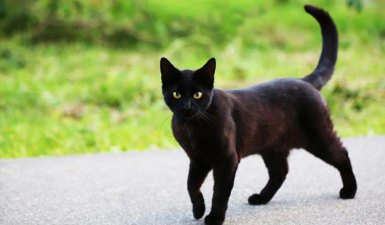 तो इसलिए बिल्ली का रास्ता काटना होता है अशुभ, नुकसान से बचने के लिए करे ये उपाय