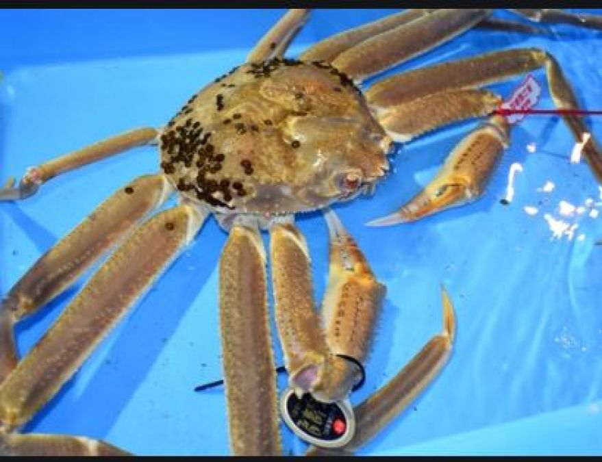 This is the world's most expensive crab, you will be shocked to know its price