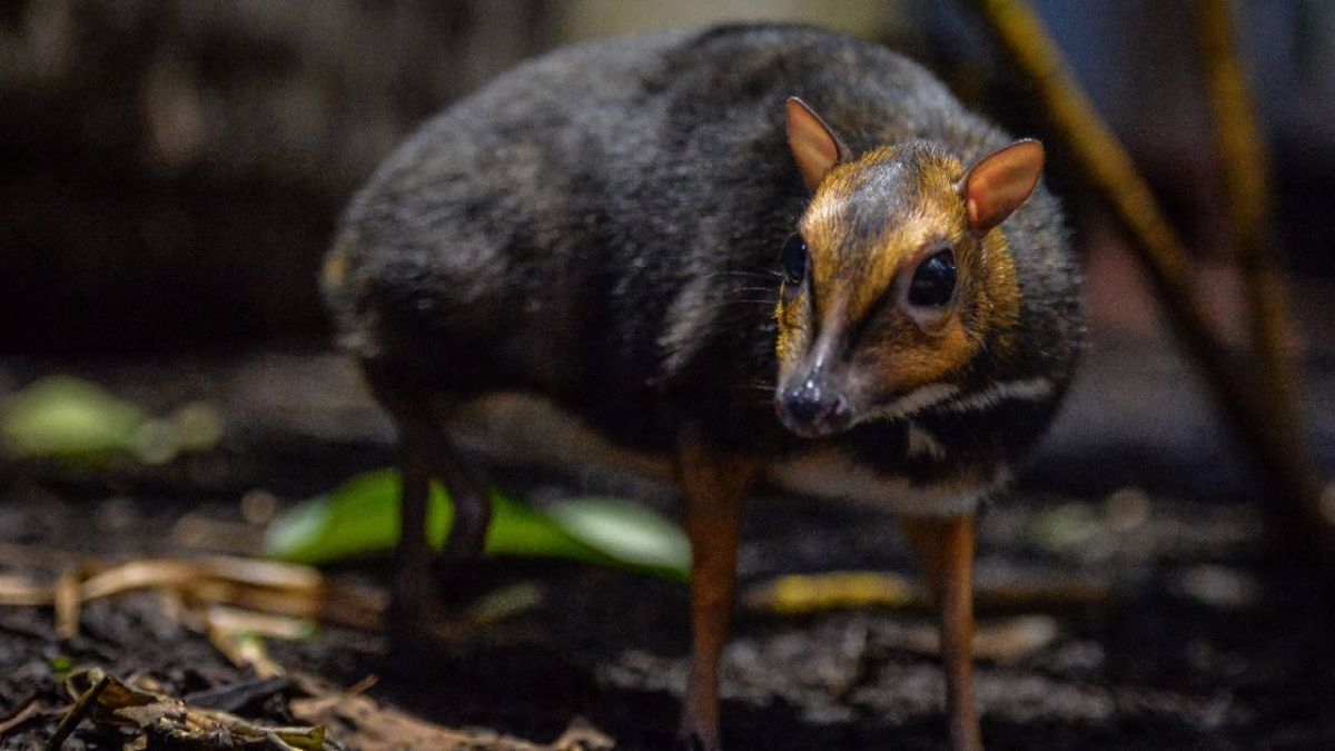 These deer look like a mouse, included in the 'Red List' of threatened species