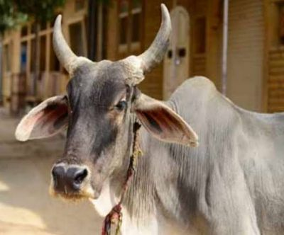 Andhra Pradesh: A cow attacks rickshaw puller for this reason