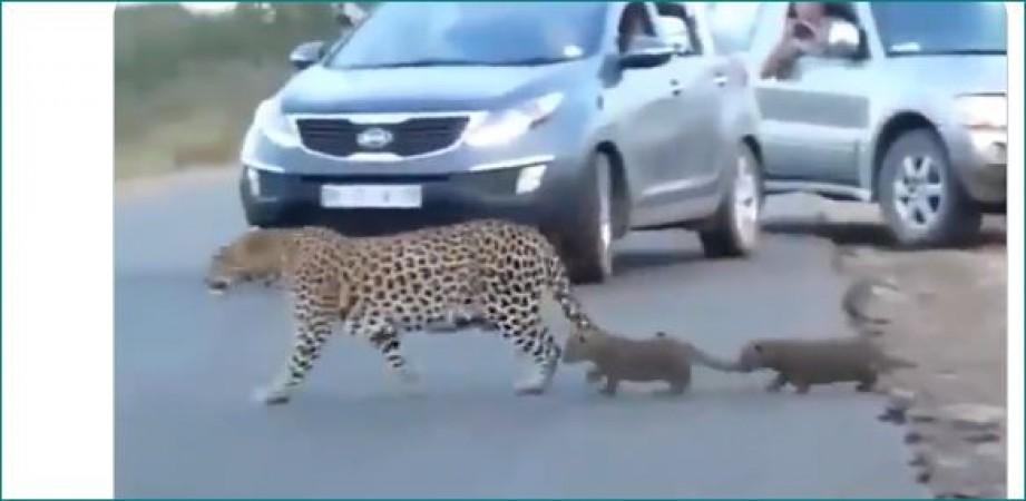 सड़क पार करते हुए अचानक रुक गया तेंदुए का बच्चा तो माँ ने किया यह काम