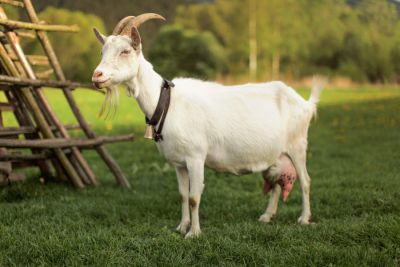 OMG! Loss of 2.68 crore rupees due to death of a goat, know the whole matter