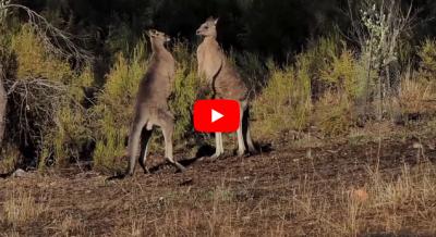 वीडियो: कंगारुओं की ऐसी वॉर देख आप हैरान रह जाएंगे