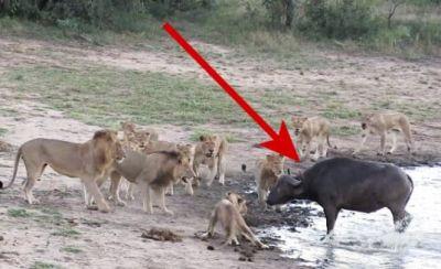 Video : 5 शेरों ने किया भैंस पर अटैक, उसके बाद जो हुआ....