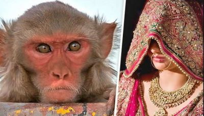 Girls of this village are virgins due to monkeys, know what is the matter