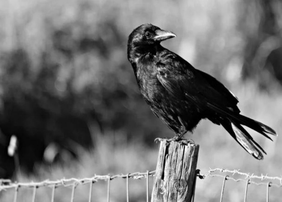 Madhya Pradesh: Crow is attacking a man for three years