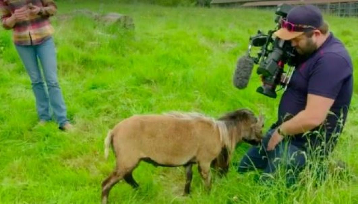 VIDEO: An angry sheep attacked BBC cameraman, Video goes viral