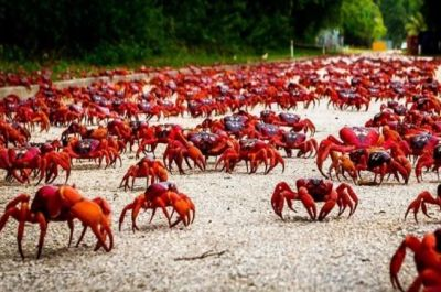 Crabs are wreaking havoc in this Island, people faces trouble