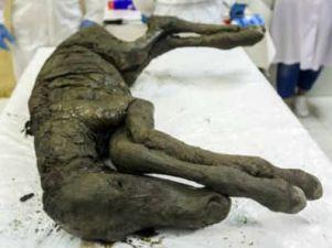 40 हजार साल पुराने घोड़े को पुनर्जीवित करने की कोशिश कर रहे वैज्ञानिक