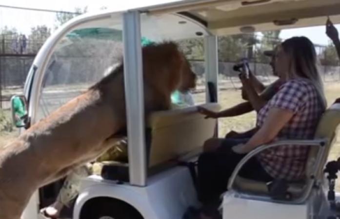 Video : खुली जीप में आ लपका शेर, पर्यटक का हुआ ये हाल