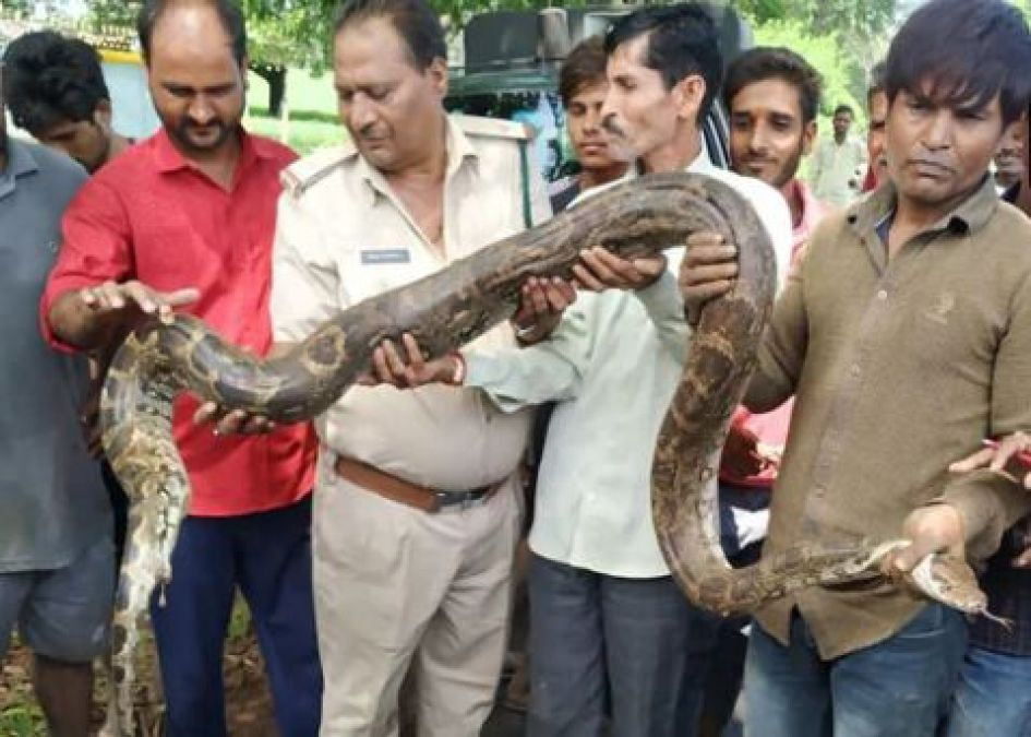 12 feet long python found in this village of Madhya Pradesh; know what happened next!