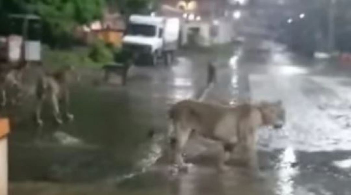 Pride of Lions Found Roaming on Road in Gujarat's Junagadh, Video Goes Viral