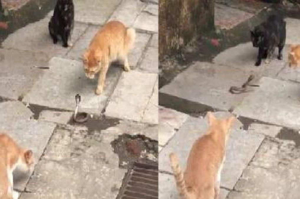 कोबरा को घेर चार बिल्लियों ने कर दिया उस पर अटैक, वीडियो हुआ वायरल