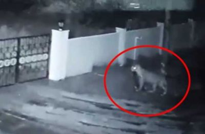 Video: Leopard enters the house and then...