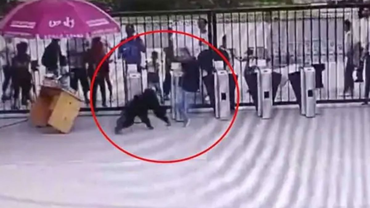 VIDEO: Chimpanzee Escapes Zoo Enclosure, Kicks Keeper and then...