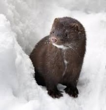 Was the new type of corona virus spread by a beaver?