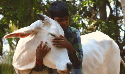 US: People hugging 'cow' by paying $200 in corona crisis, getting many health benefits
