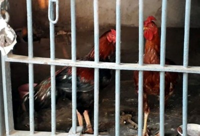 Two chickens arrested with bookies for betting offence